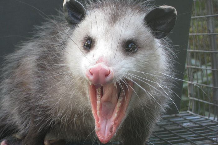 Opossum Removal Opossum Control Opossum Trapping And